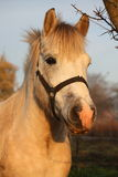 Cute gray pony portrait in the paddock Royalty Free Stock Images
