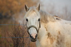 Cute gray pony portrait in the paddock Stock Photo