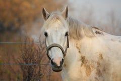 Cute gray pony portrait in the paddock Stock Photo