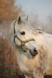 Cute gray pony portrait in the paddock Royalty Free Stock Photos