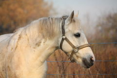 Cute gray pony portrait in the paddock Stock Image