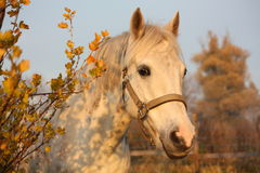 Cute gray pony portrait in the paddock Stock Photos