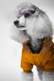 Cute Gray Poodle With Yellow Jacket On Grey Stock Images