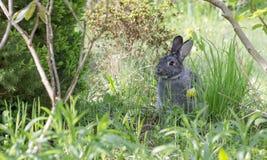 A cute, gray chinchilla rabbit. A cute, gray rabbit in a garden royalty free stock photo