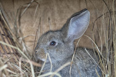A cute gray rabbit. Is lying on the hay Stock Image