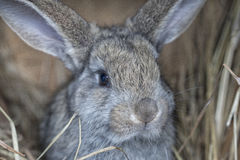 A cute gray rabbit. Is lying on the hay Stock Images