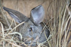A cute gray rabbit. Is lying on the hay Royalty Free Stock Photography
