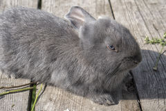 A cute gray rabbit. Is lying on the wooden planks Stock Images