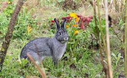 Gray chinchilla  rabbit Royalty Free Stock Photography