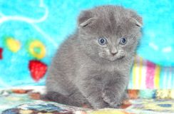 Cute gray Scottish fold kitten on blue sofa. Cute little gray Scottish fold kitten on blue sofa.Very nice and beautiful Stock Photography