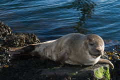 Cute gray seal taking a sunbath on rock Royalty Free Stock Image