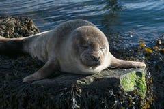 Cute gray seal taking a sunbath on rock Stock Photo