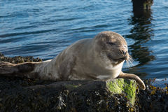 Cute gray seal taking a sunbath on rock Stock Photography