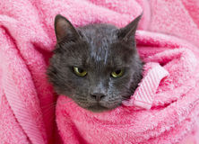 Cute gray soggy cat after a bath. Drying off with a pink towel Stock Image