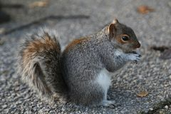 Cute Gray Squirrel Eating. Washintong D. C Royalty Free Stock Photos