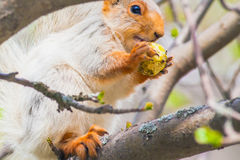 Cute gray squirrel sits on a tree and eats an apple Stock Photography