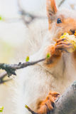Cute gray squirrel sits on a tree and eats an apple Royalty Free Stock Image