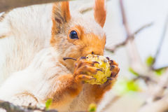 Cute gray squirrel sits on a tree and eats an apple Royalty Free Stock Photos