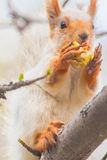 Cute gray squirrel sits on a tree and eats an apple Stock Photos
