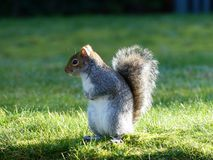 Cute gray squirrel in springtime royalty free stock photography