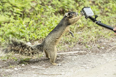 Cute gray squirrel touches paw small camera and makes selfie. Incredible shot. Stock Photos
