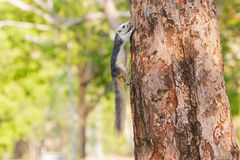 Cute Gray squirrel with white head face tummy and bushy tail cli Stock Photo