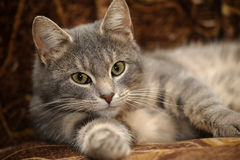 Cute gray striped cat Royalty Free Stock Photo