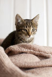 Cute gray striped kitten sitting in a cozy knitted blanket in br Stock Image