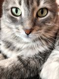 A cute gray tabby cat Royalty Free Stock Image