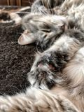 Cute gray tabby cat lying on the bed, focus on the paw and pads Royalty Free Stock Image