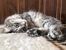 A cute gray tabby cat lying on bed Stock Photography