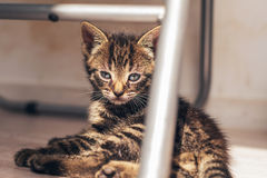 Cute Gray Tabby Kitten in a Thoughtful Expression. Domestic Gray Tabby Kitten, Resting on the Floor Under a Metal Chair, Showing a Thoughtful Expression stock photo
