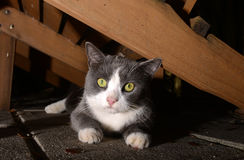 Cute gray and white cat with bright eyes Stock Image