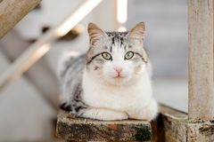 Cute gray and white cat with the light green eyes lying on the wooden board. In the blurred background royalty free stock photography