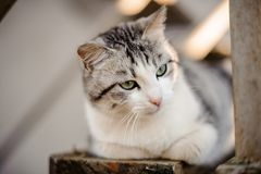 Cute gray and white cat with the light green eyes lying on the wooden board and looking away. In the blurred background royalty free stock images
