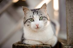 Cute gray and white cat with the light green eyes lying on the wooden board and looking at camera. In the blurred background royalty free stock images