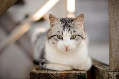 Cute gray and white cat with the light green eyes lying on the wooden board and looking down. In the blurred background stock photo