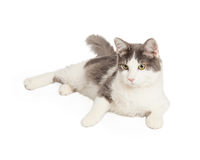 Cute Gray and White Cat Stock Photos