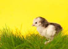 Cute gray and white chick in grass Royalty Free Stock Photography