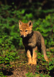 Cute Gray Wolf Pup. A cute gray wolf pup standing head on Stock Images