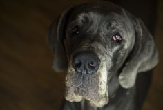 Cute Great Dane look Royalty Free Stock Photography