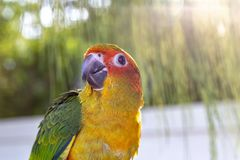 Cute green bird on finger, Parrot on the finger, Parrot Sun conure on hand. Feeding Colorful parrots on human hand royalty free stock photo