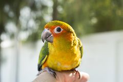 Cute green bird on finger, Parrot on the finger, Parrot Sun conure on hand. Feeding Colorful parrots on human hand. royalty free stock photos
