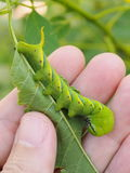 Cute green caterpillar larva worm in nature Stock Photography