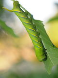 Cute green caterpillar larva worm in nature Stock Images