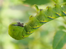 Cute green caterpillar larva worm in nature Stock Photos