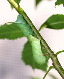 Cute green caterpillar larva worm in nature Royalty Free Stock Photography