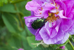 Cute green chafer climb on the pink rose petal(Cetonia aurata) Stock Photo