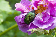 Cute green chafer climb on the pink rose petal(Cetonia aurata) Stock Images