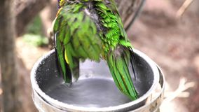 Cute green colorful parrots having bath. At Denver, Colorado, United States stock footage